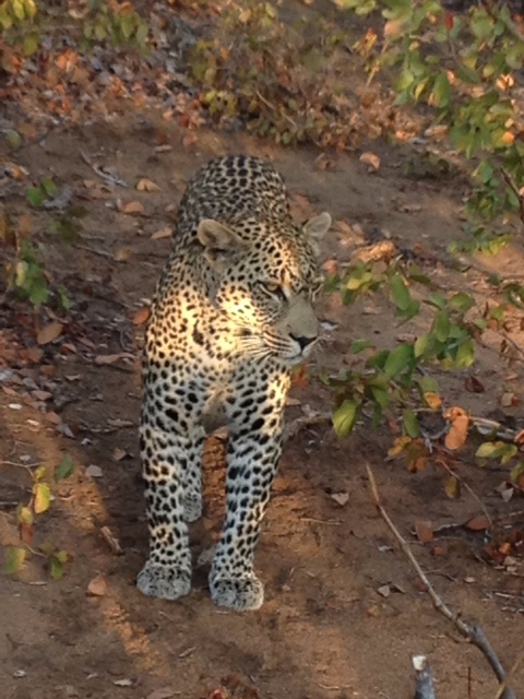 NO PROBLEM SEEING THE BIG FIVE (Photo by Dr. Linda Korfhage for Dispatches.)
